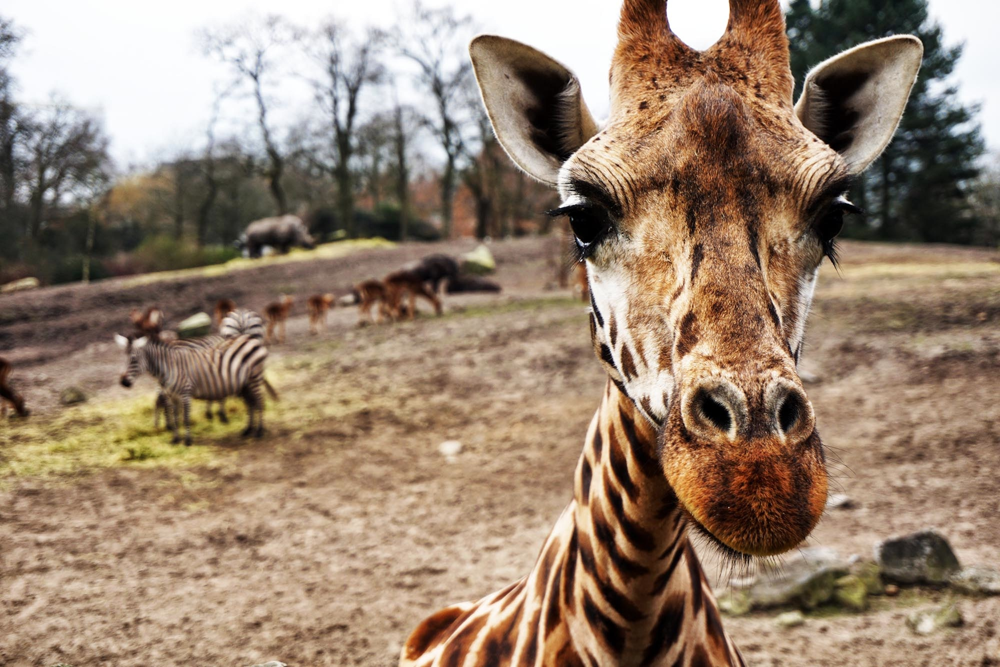 | Baby giraffe |